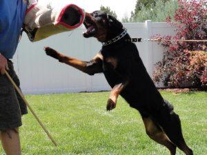 Hướng dẫn phương pháp huấn luyện chó bảo vệ chủ